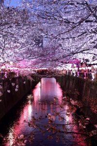 目黒川のお花見♪