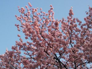 春らしくなってまいりました。